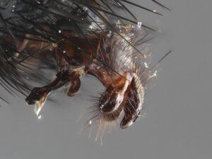 Phryxe heraclei (male) CMTR 15-01-20_111855_M=B_R=8_S=4